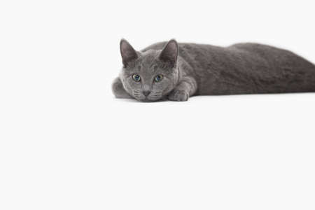 Russian Blue cat relaxing