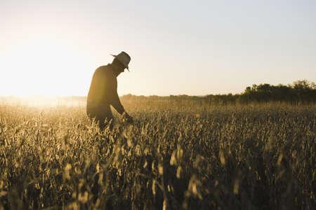 environmental issues: Silhouetted senior male farmer looking at soybean crop at sunset, Plattsburg, Missouri, USA