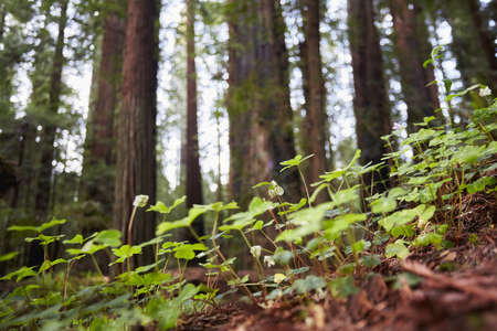 environmental issues: Wild flowers, Humboldt Redwoods State Park, California, USA LANG_EVOIMAGES