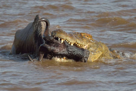 Western white-bearded wildebeest (Connochaetes taurinus mearnsi) in the jaws of a Nile Crocodile (Crocodylus niloticus) in river, Mara Triangle, Maasai Mara National Reserve, Narok, Kenya, Africa