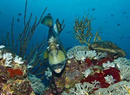 Titan triggerfish underwater, Uepi Jetty, Uepi Island, New Britain, Solomon Islands
