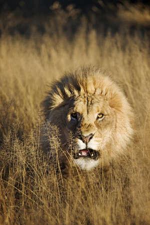 Snarling Male Lion (Panthera leo)