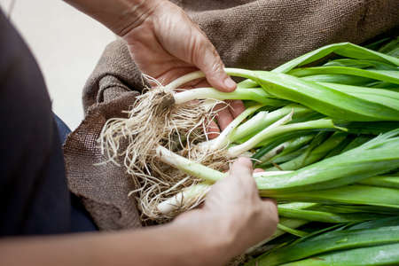 Hands with organic spring onions