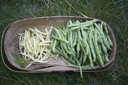 Variety of beans in wooden trug