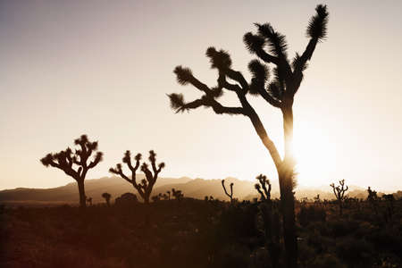 joshua: Silhouetted joshua trees, Joshua Tree National Park, California, USA