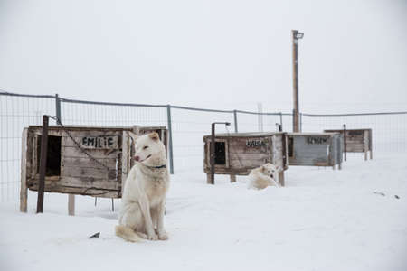 pooches: Husky dog sitting in enclosure, Svalbard, Norway LANG_EVOIMAGES