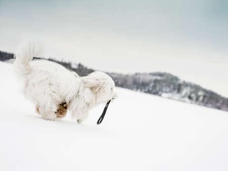 trouble free: Coton de tulear dog running in snowy landscape