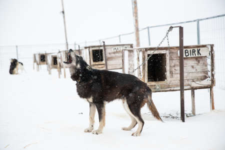 Husky dog howling in enclosure, Svalbard, Norway LANG_EVOIMAGES