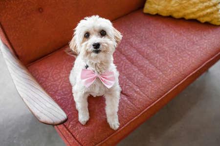 Portrait of cute dog sitting on living room sofa