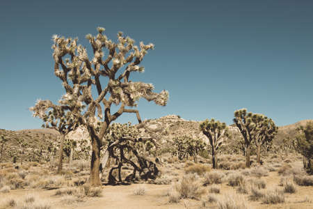 View of joshua trees, Joshua Tree National Park, California, USA LANG_EVOIMAGES