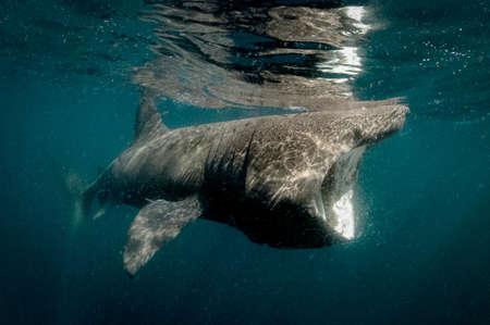 basking: Basking shark