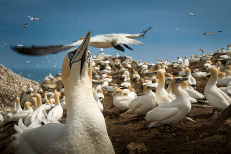Gannet colony, South West Cork, County Cork, Ireland LANG_EVOIMAGES