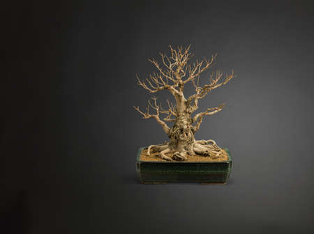 Studio shot of bare bonsai tree in plant pot