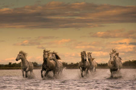Camargue horses, South of France