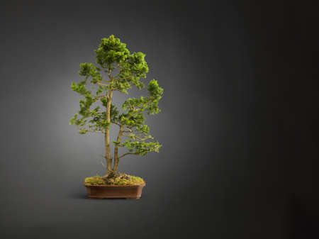 bodegones: Studio shot of bonsai tree in mossy plant pot