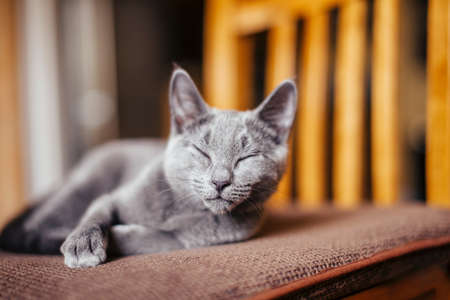 Russian blue cat asleep on chair
