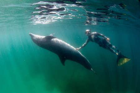 freediving: Freediver and Bottlenose dolphin
