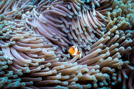 A false clown anemone fish (Amphiprion ocellaris) hides on an anemone, Raja Ampat, West Papua, Indonesia