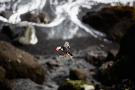 puffins: Side view of puffin flying in mid air, Iceland