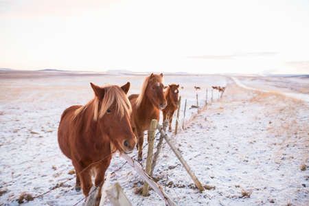 Ponies on snow-covered field, Iceland