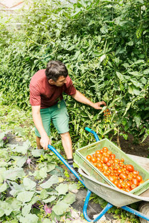 Farmer with wheelbarrow of tomatoes in organic farm LANG_EVOIMAGES