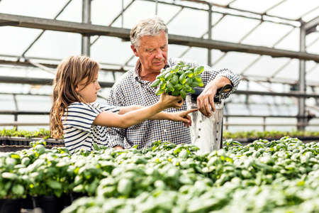 pointing herb: Grandfather and granddaughter in hothouse packaging up basil plants