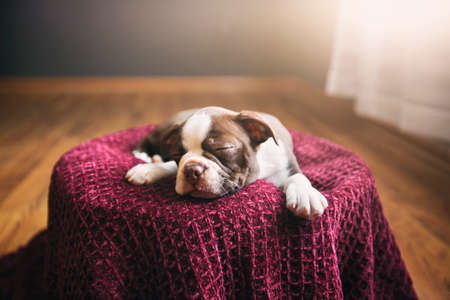 Boston Terrier puppy lying on purple blanket, eyes closed, sleeping LANG_EVOIMAGES