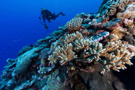 natural science: Underwater photographer photographing coral reef at Palmerston Atoll, Cook Islands