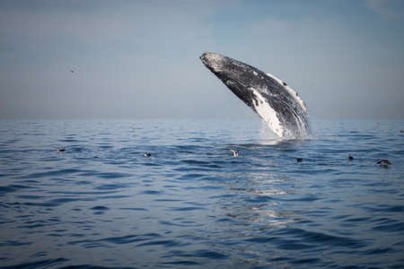 Side view of humpback whale breaching, West Coast, Pacific Ocean