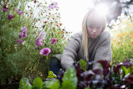 self sufficient: Mid adult woman tending lettuce in organic garden
