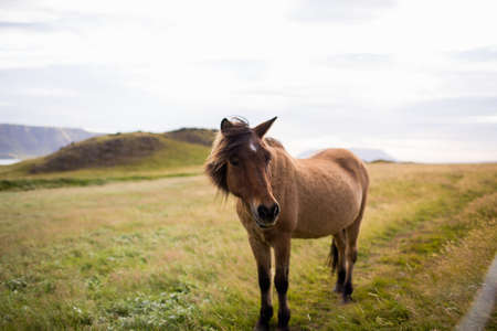 Horse in field landscape, looking at camera, Iceland LANG_EVOIMAGES