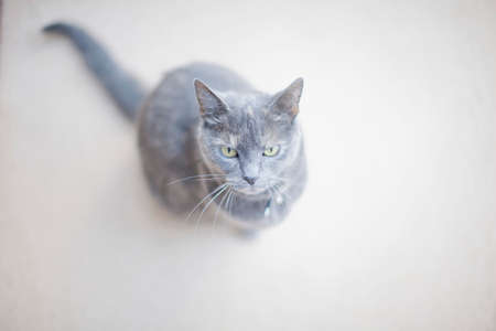 housecat: Portrait of grey cat, elevated view LANG_EVOIMAGES