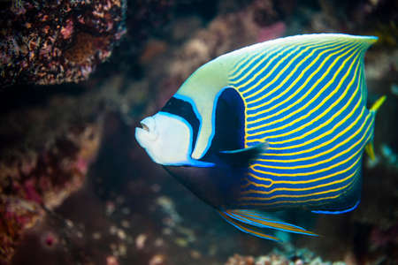 environmental issues: Underwater view of pomacanthus imperator (emperor angelfish) Palmerston Atoll, Cook Islands