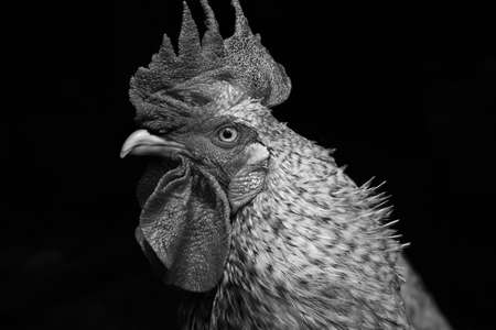 Black and white portrait of rooster looking sideways LANG_EVOIMAGES