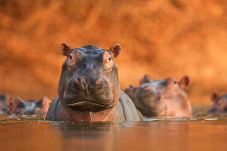 zimbabwe: Portrait of Hippopotamus (Hippopotamus amphibius), close -up, Mana Pools National Park, Zimbabwe