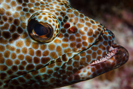 Underwater close up view of epinephelus merra (dwarf spotted grouper) at Palmerston Atoll, Cook Islands LANG_EVOIMAGES