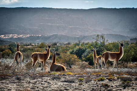 Medium group of Guanaco grazing, Valle de la Luna, San Juan Province, Argentina