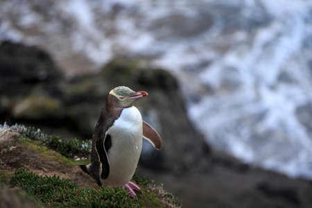 Yellow eyed penguin (megadyptes antipodes) at coast, Katiki Point, Moeraki, New Zealand
