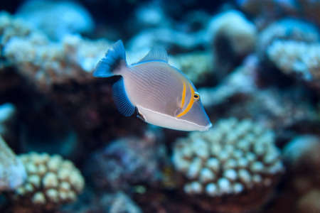 Underwater view of scimitar triggerfish (sufflamen bursa) at Palmerston Atoll, Cook Islands LANG_EVOIMAGES
