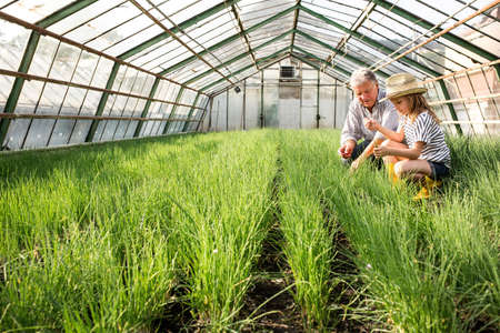 Grandfather and granddaughter in hothouse checking quality of chive plants