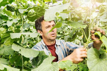 environmental issues: Farmer harvesting cucumber in organic farm LANG_EVOIMAGES