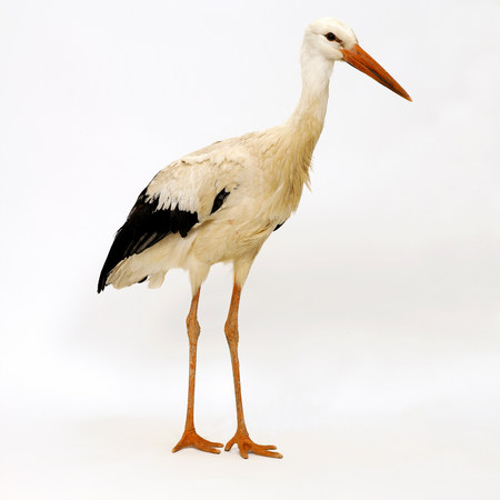 profile: Stork