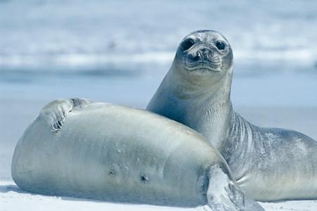 Two Southern Elephant seals (Mirounga leonina) on a sandy beach,Falkland Islands