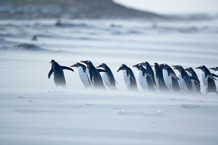 Gentoo penguins (Pygoscelis papua papua) marching in line,Falkland Islands