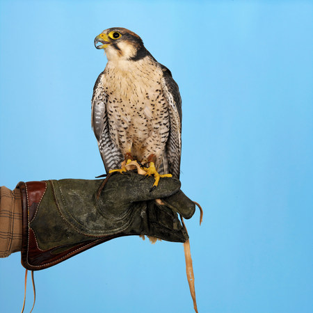 Lanner Falcon perched on hand LANG_EVOIMAGES