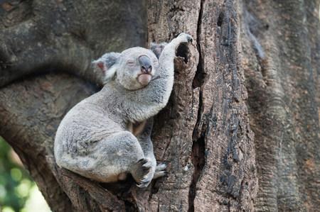 tiredness: Portrait of sleeping koala bear,Lone Pine Sanctuary,Brisbane,Australia LANG_EVOIMAGES