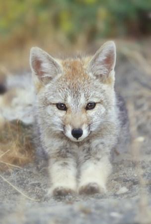 Patagonian fox,portrait