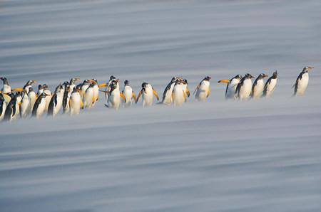 Gentoo Penguins (Pygoscelis papua papua) marching in line,Falkland Islands LANG_EVOIMAGES