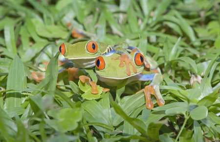 Red-eyed tree frogs (Agalychnis callidryas) on plants,Costa Rica LANG_EVOIMAGES