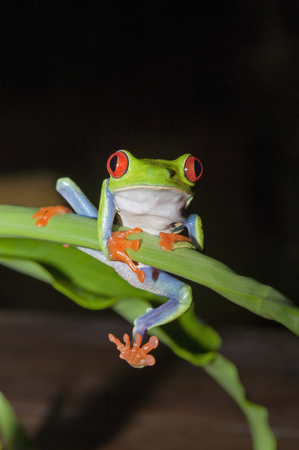 Red-eyed tree frog (Agalychnis Callidryas) holding onto stem,Costa Rica LANG_EVOIMAGES